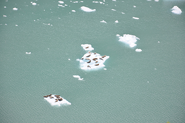 Seals on ice in Glacier Bay in 2011